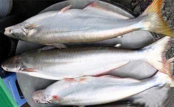 Mua cá Bông Lau mua ở đâu
