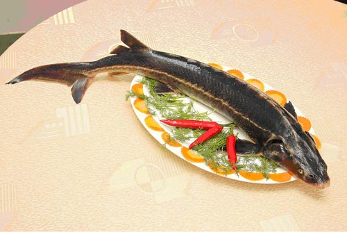 Cá tầm bao nhiêu 1 kg
